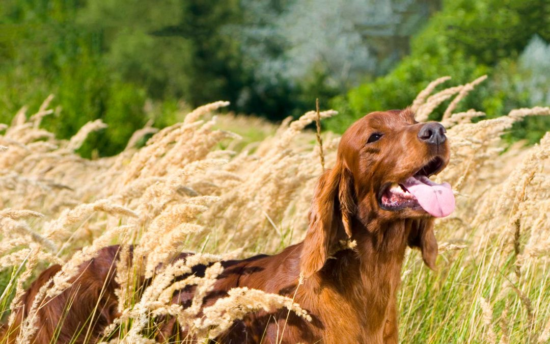 Dogs and Long Grass