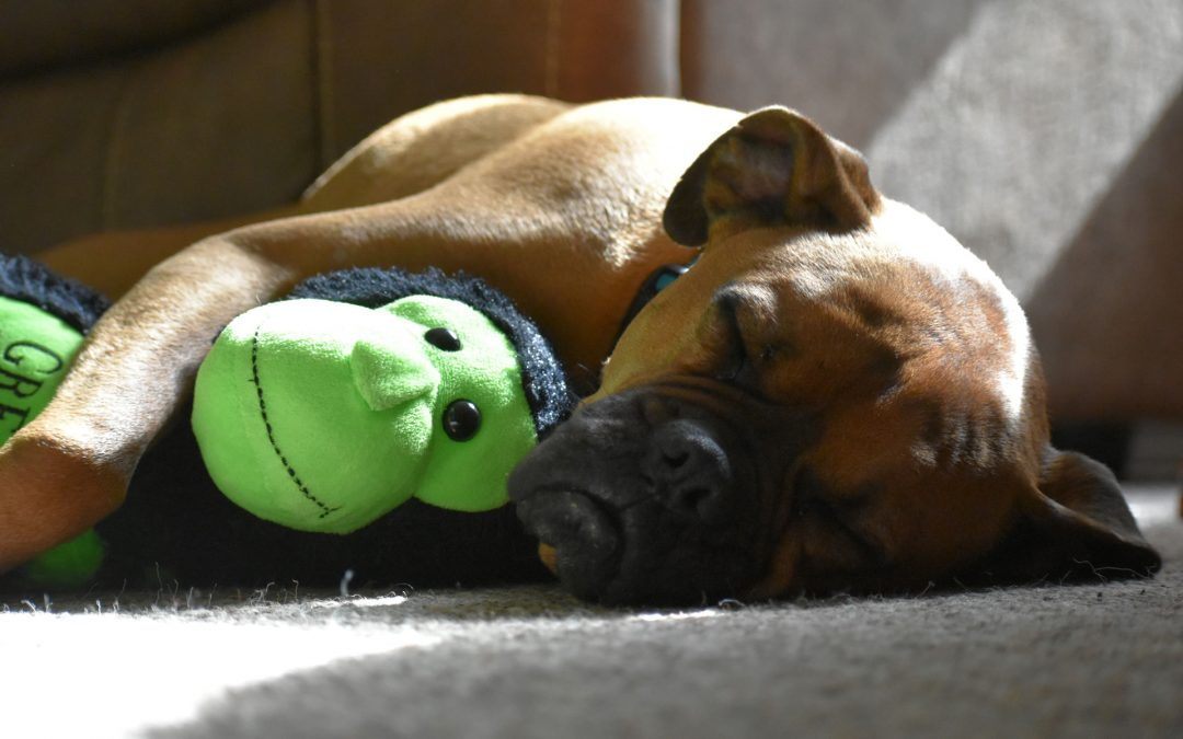 Does your short-nosed dog snore?