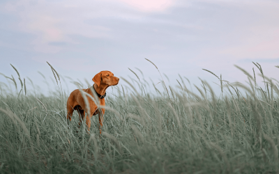 Grass Seed Dangers in Dogs
